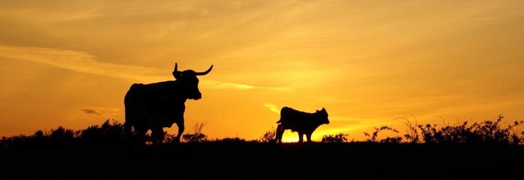 Texas-sky-longhorns-at-sunset