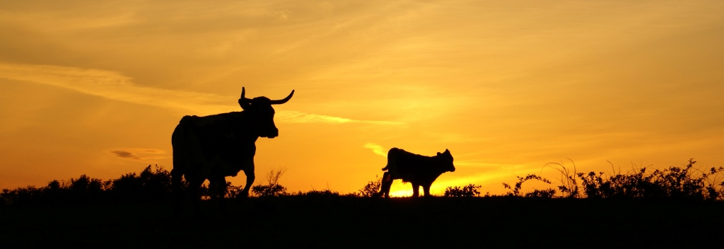 Texas-sky-longhorns-at-sunset