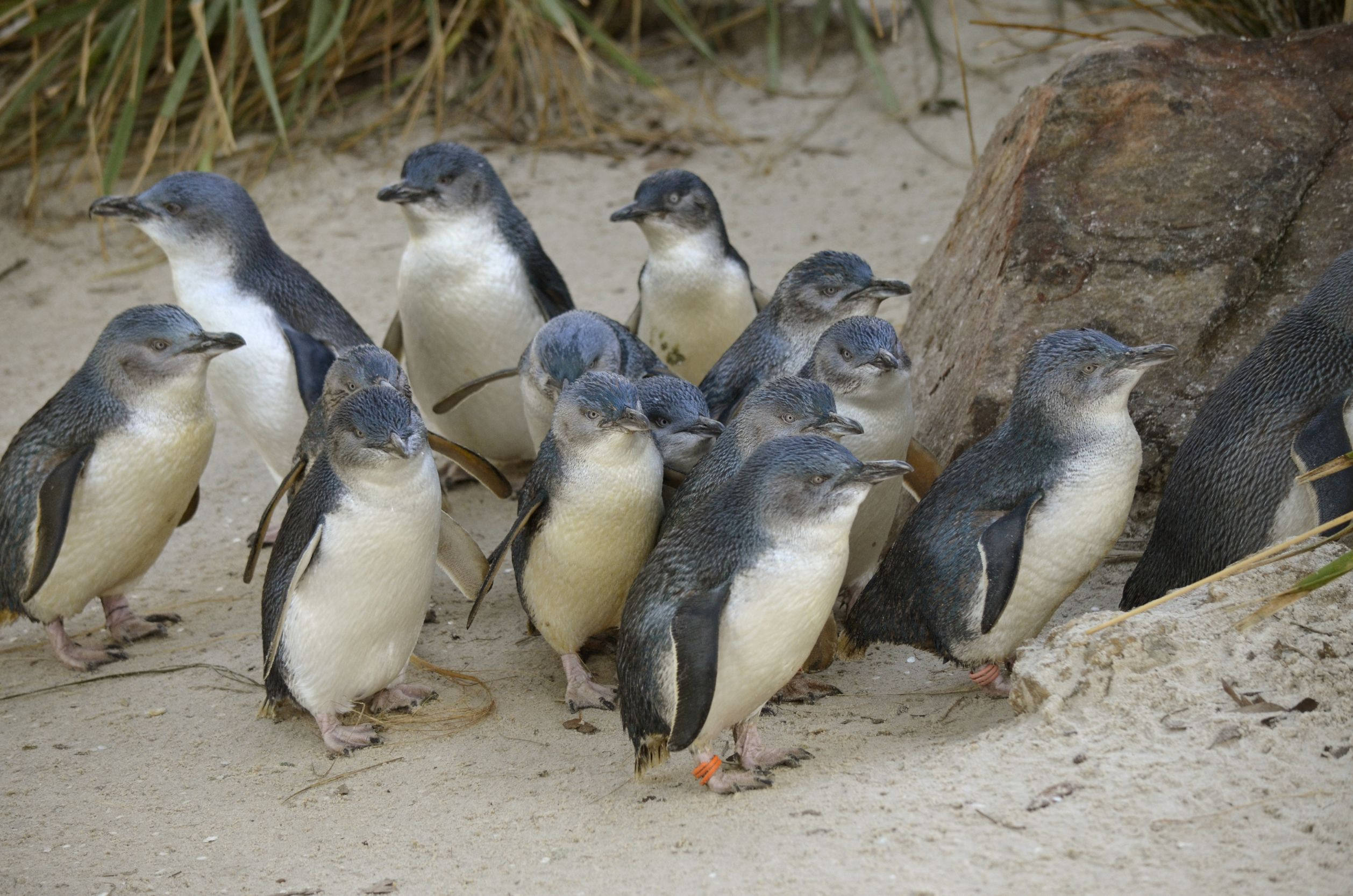 australia tiny little penguins 123rf