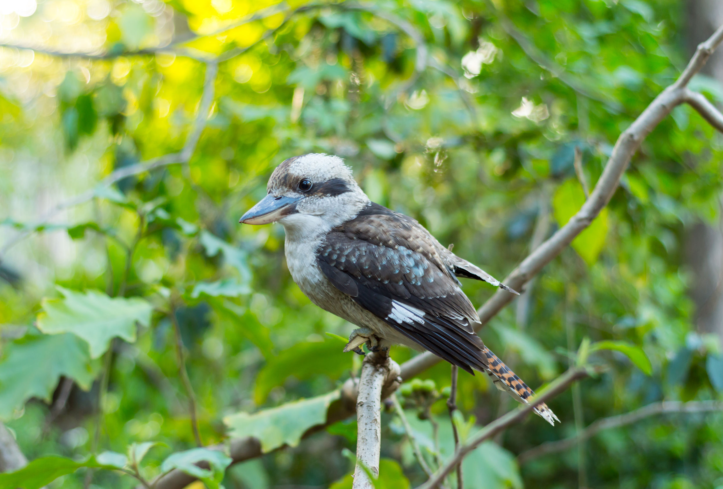 bird-on-stick-australia