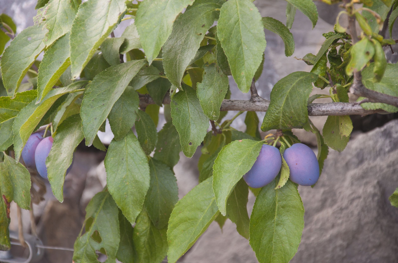 prunes-california-usa