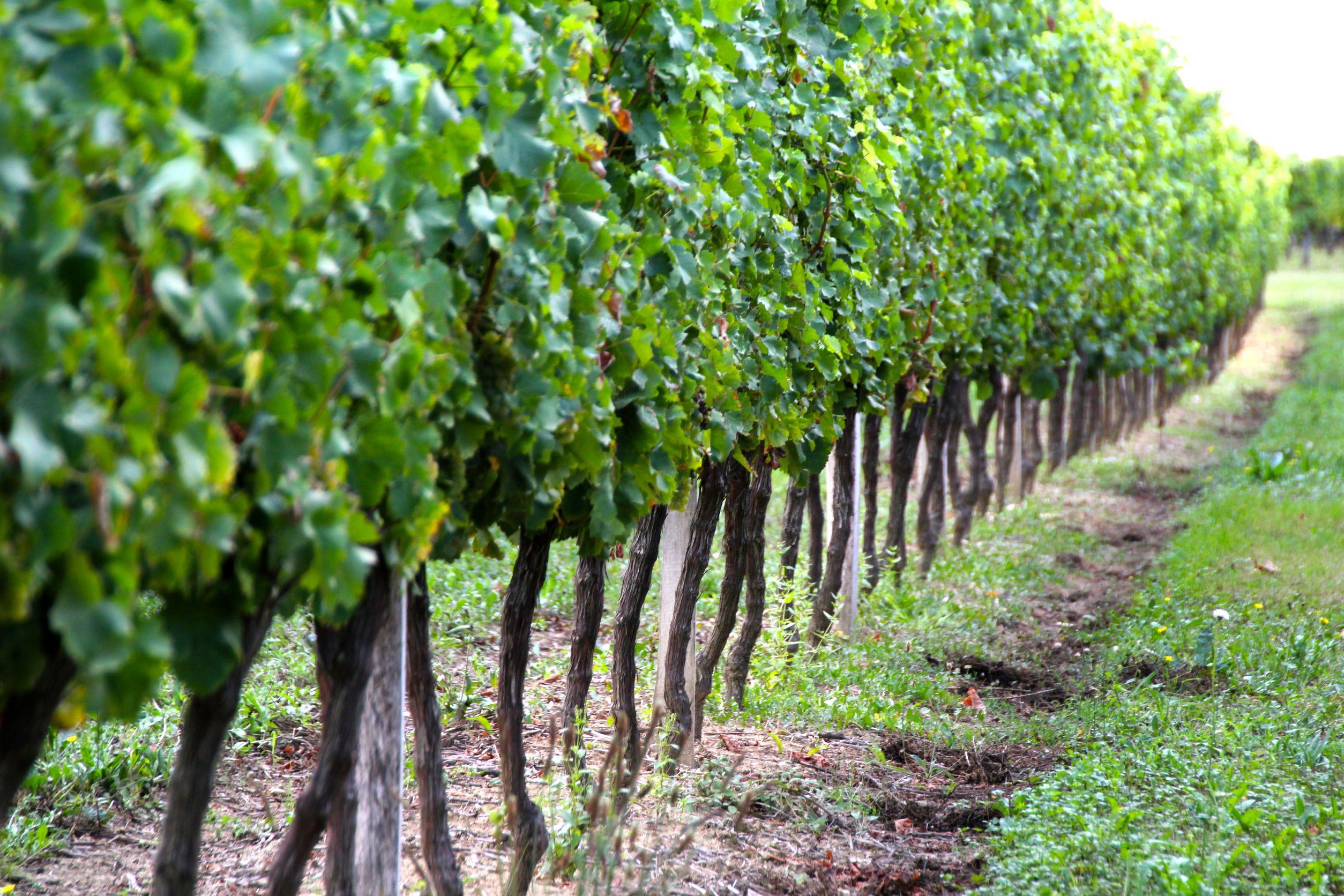 australia wine and grapes 123rf