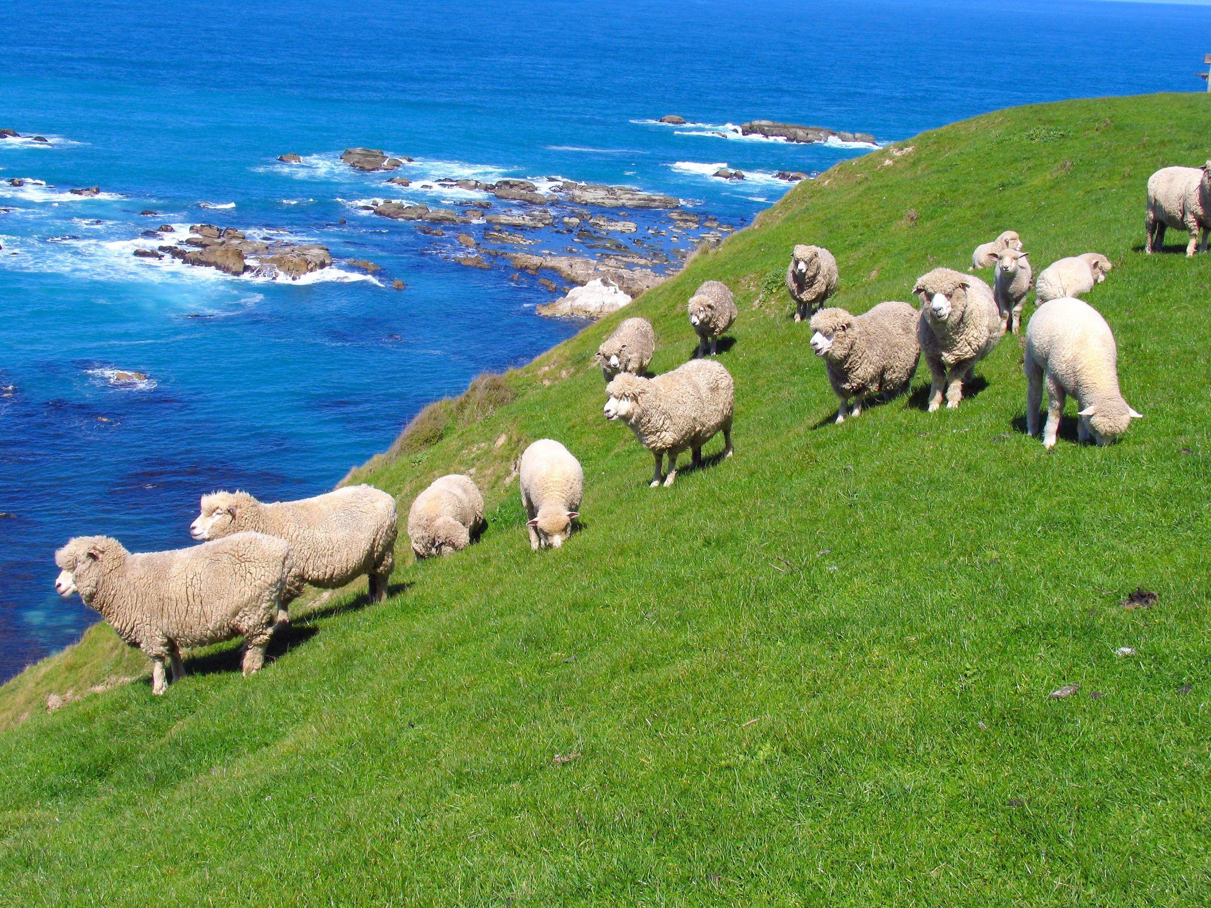 new zealand sheep 123rf