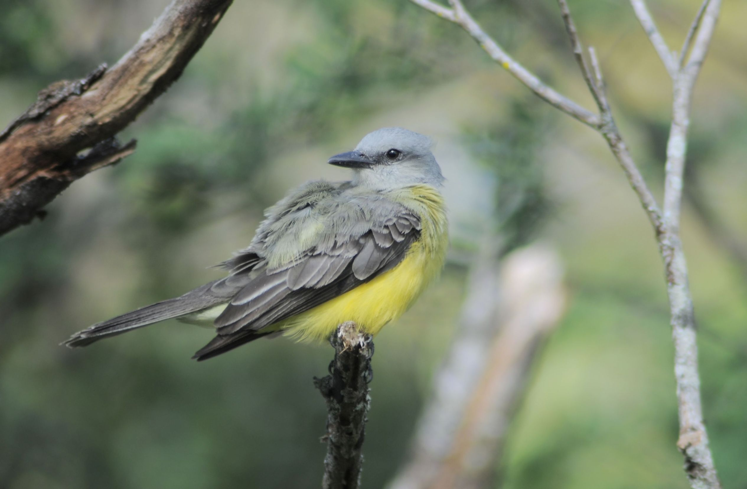 yellow-bird-usa