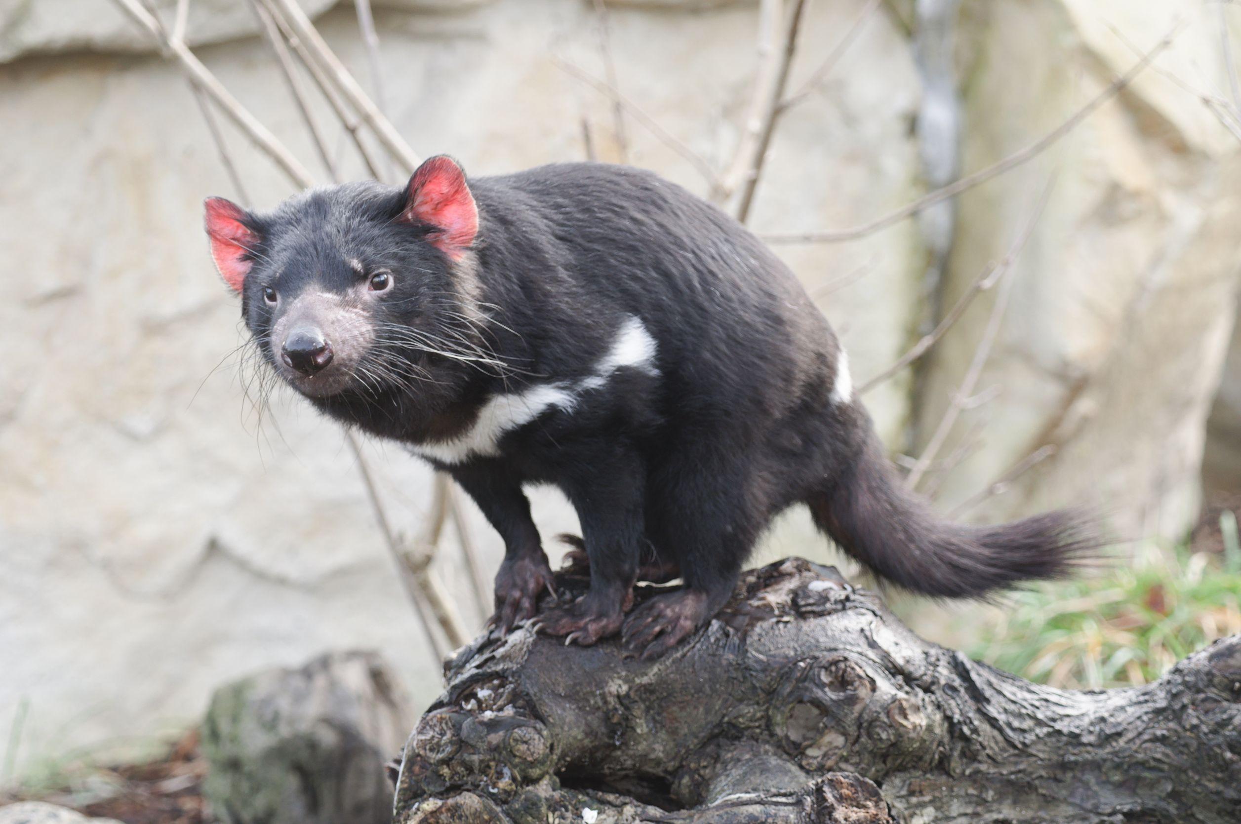 tasmanian devil australia 123rf