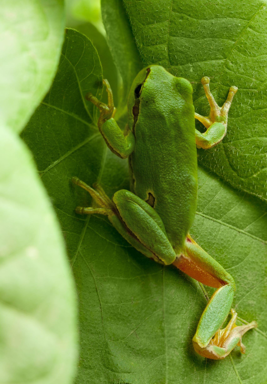 australia green tree frog 123rf