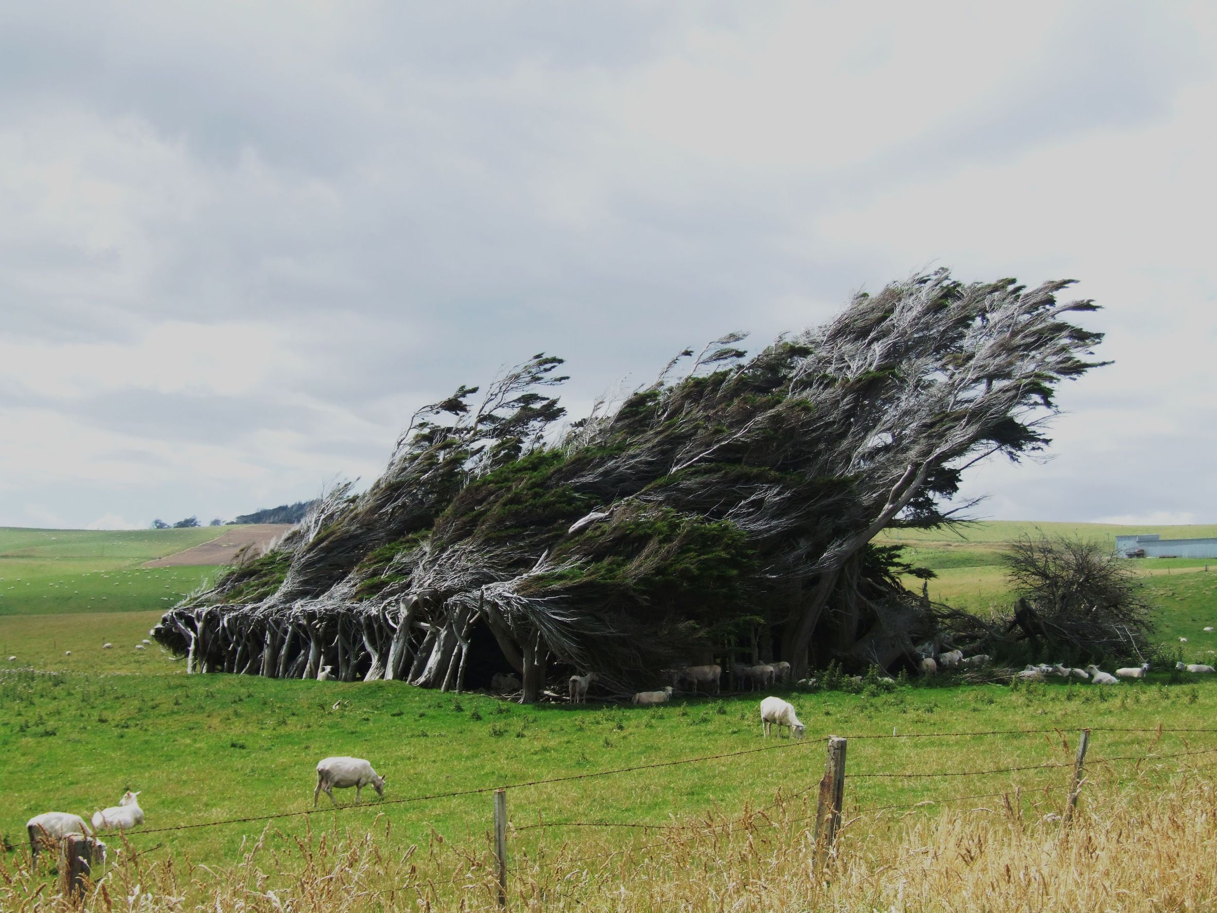 new zealand windswept trees 123rf