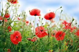 A Tasmanian Poppy Field