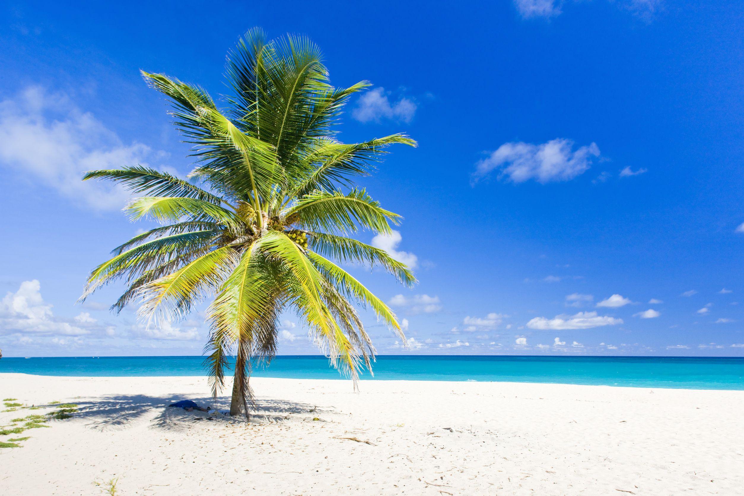 caribbean palm tree 123rf