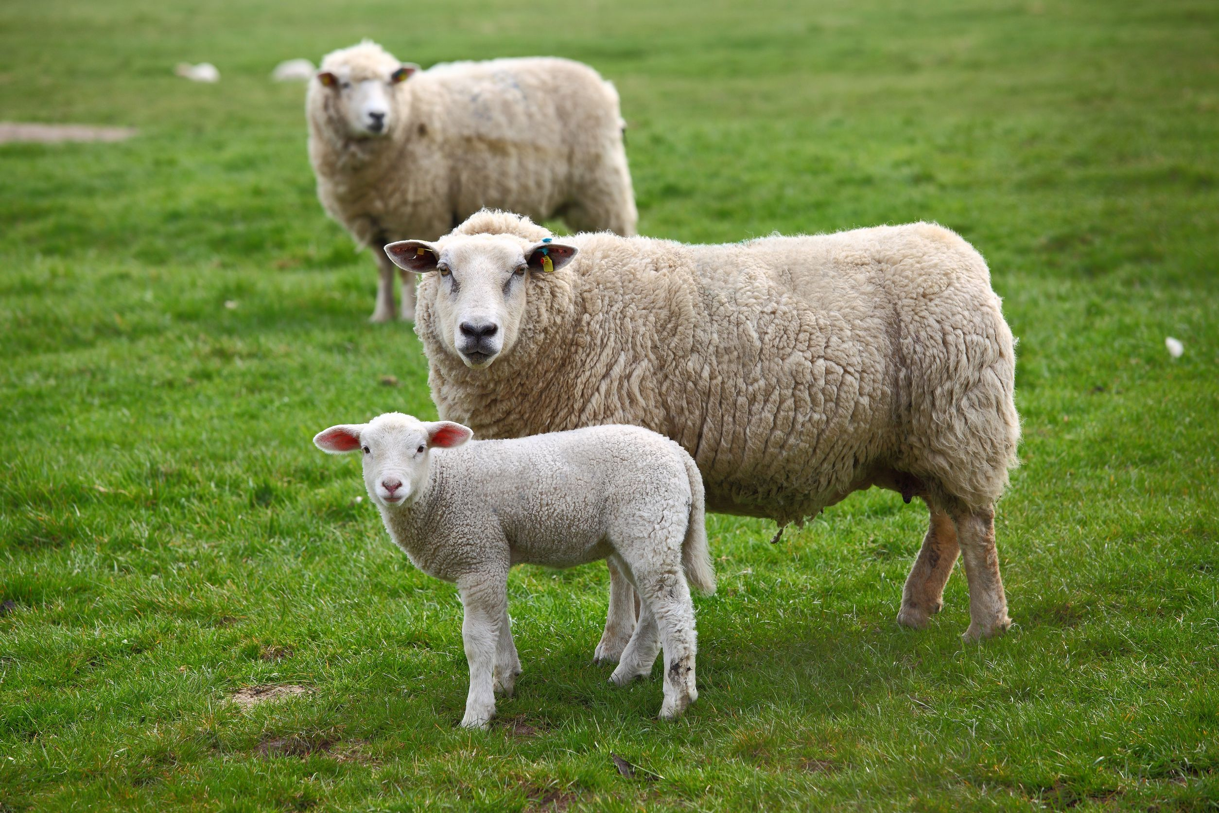 australia sheep in field 123rf