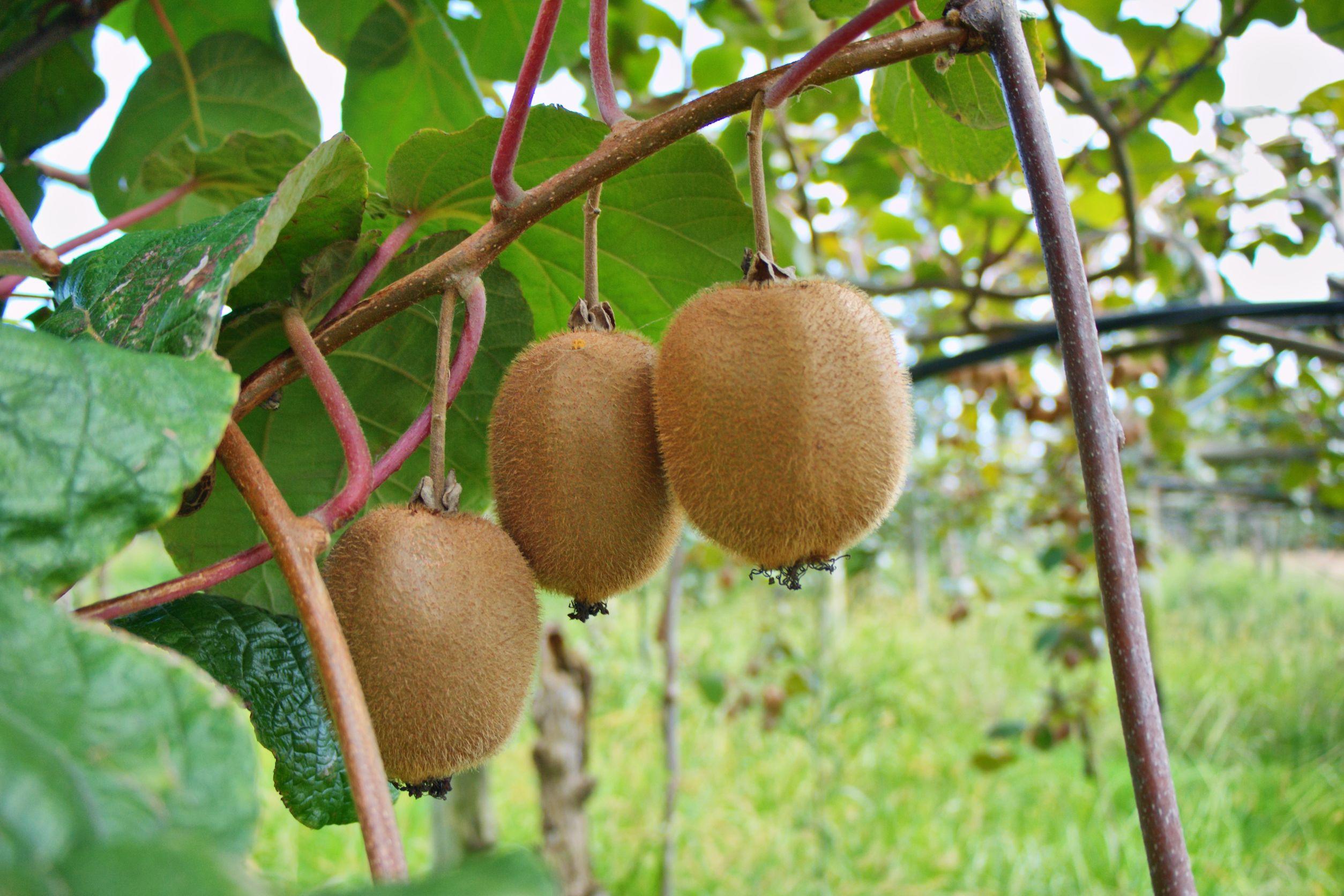 new zealand kiwi fruits 123rf