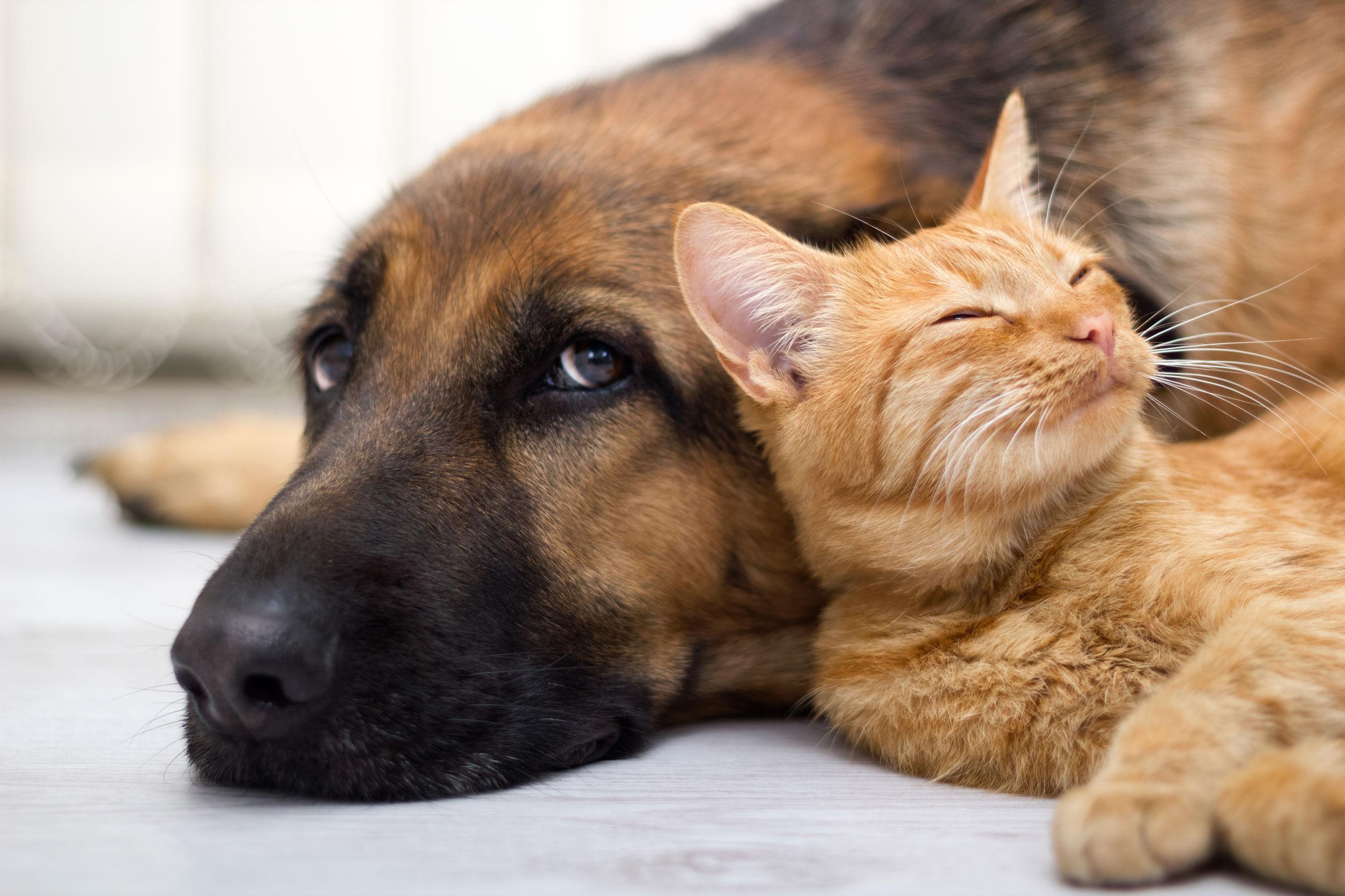 australia cat and dog 123rf