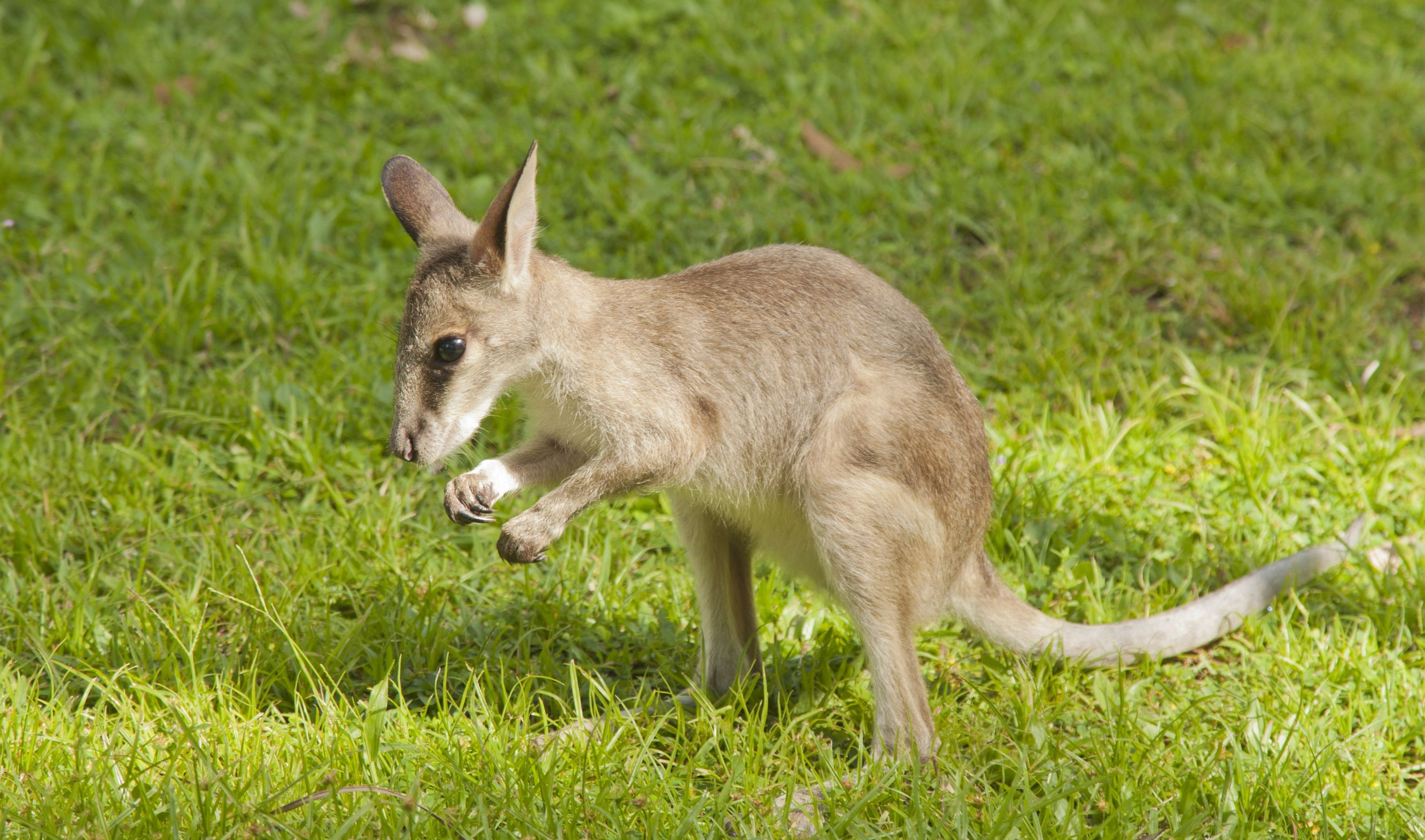australia baby kangaroo 123rf