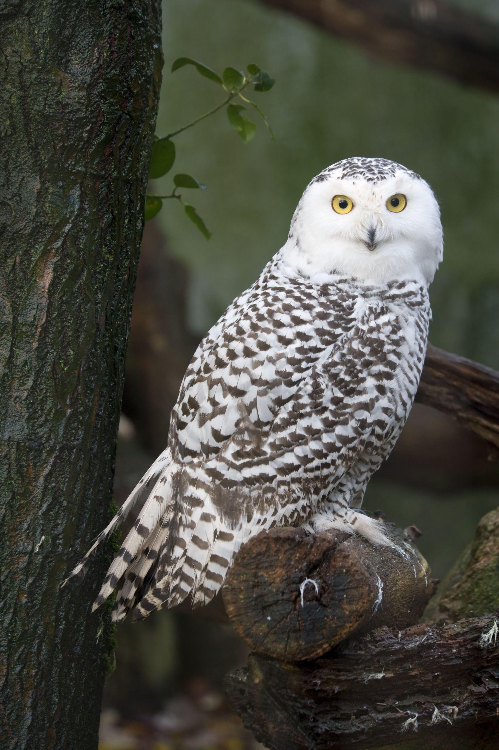 snowy-owl-usa
