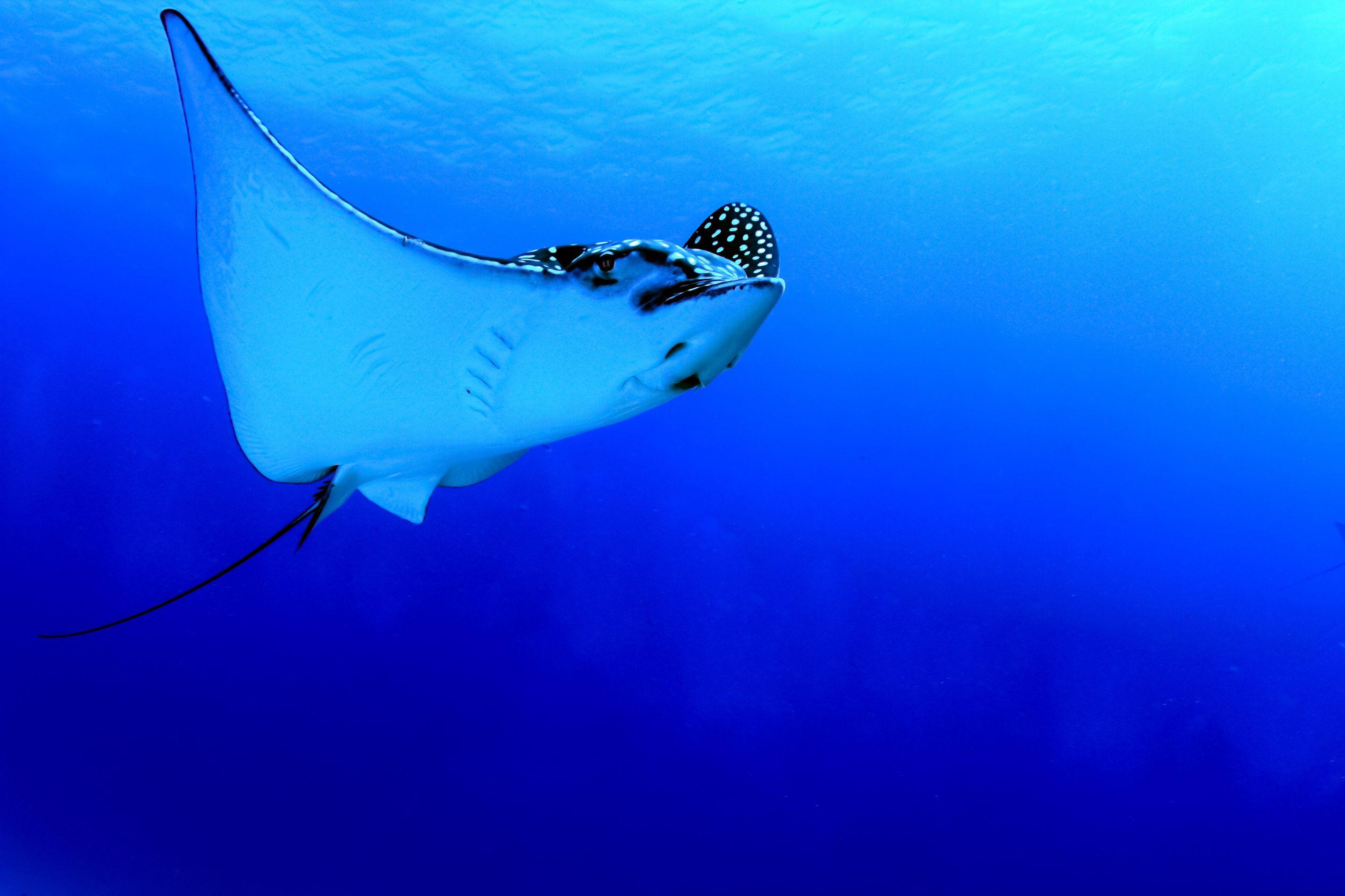 caribbean sting ray 123rf
