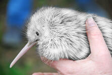 australia kiwi bird thinkstock