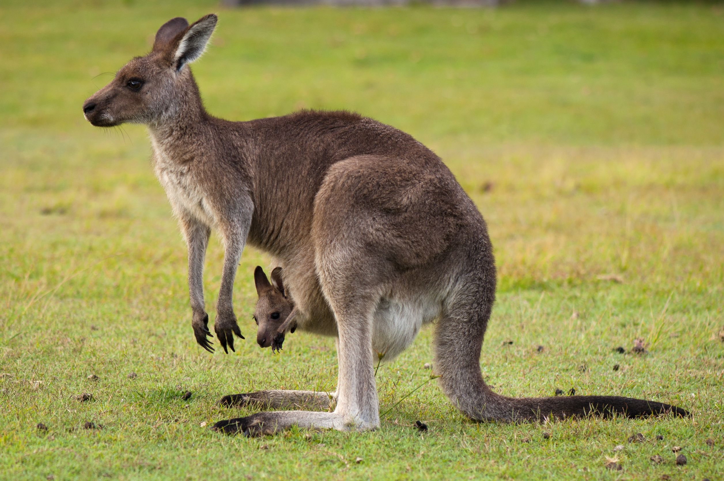australia kangaroo and baby 123rf