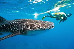 australia whale shark diver 123rf