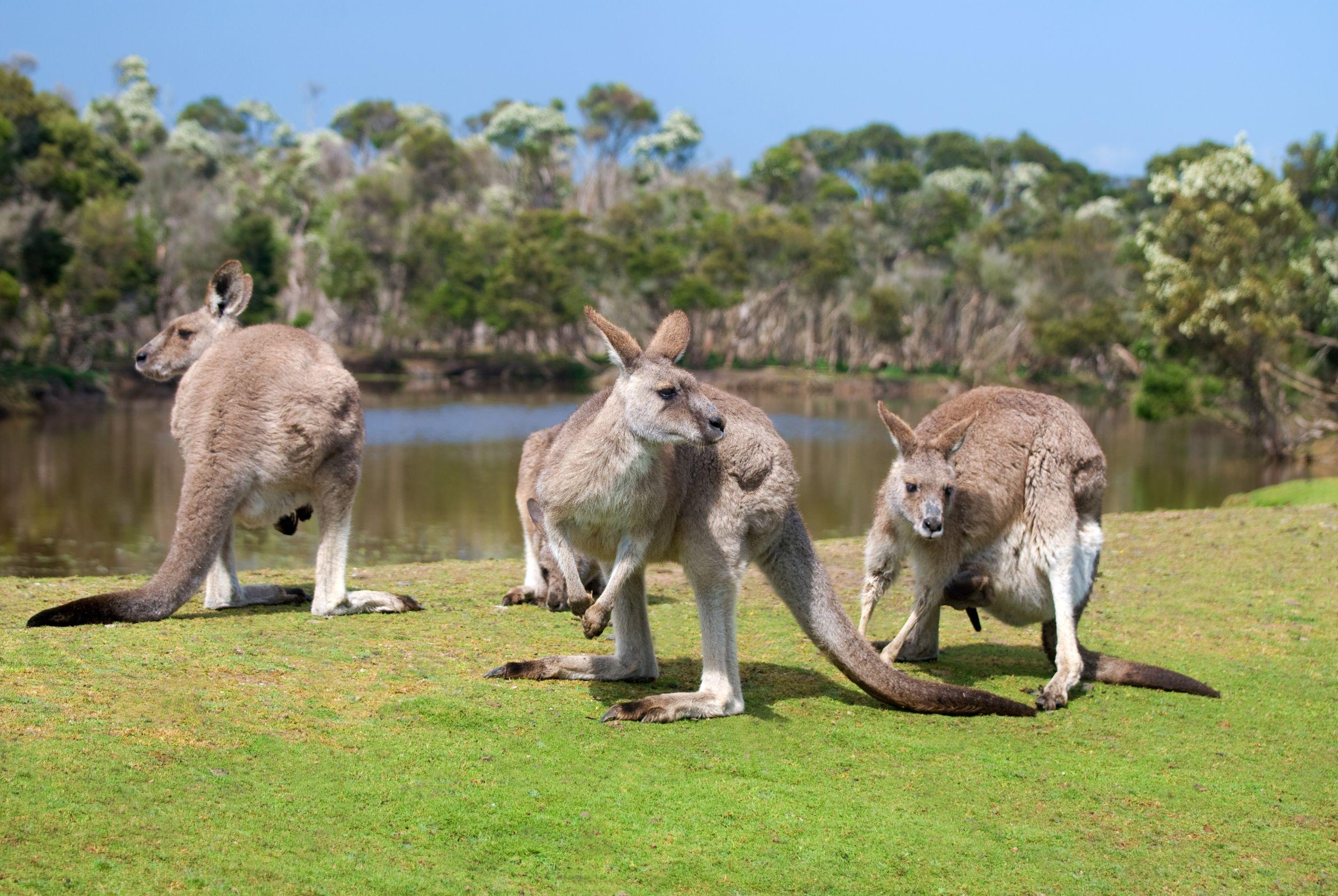 australia kangaroos by lake 123rf