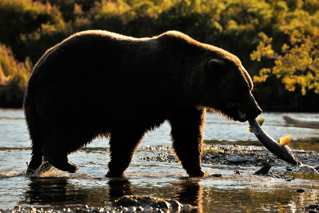 grizzly-bear-in-alaska