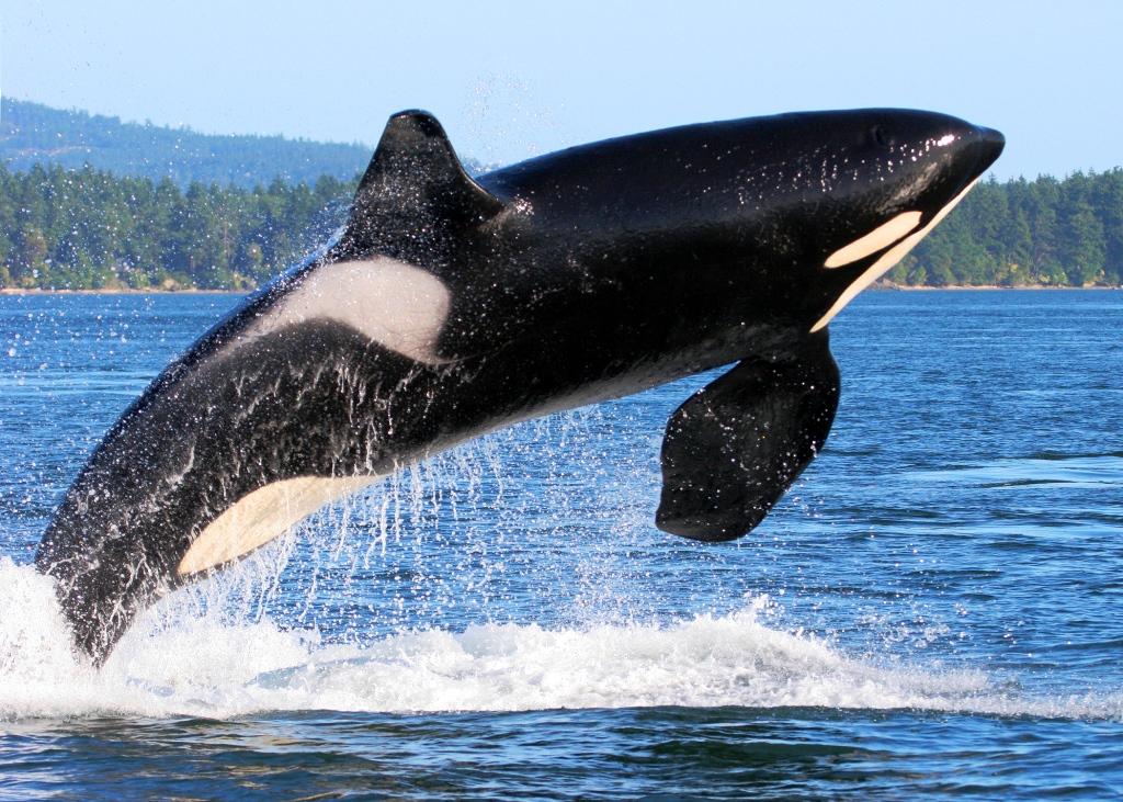 killer-whale-breaching-in-alaska