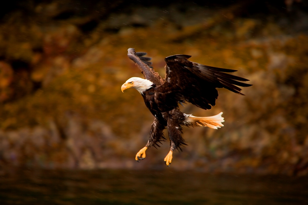 a-bald-eagle-swoops-in-alaska