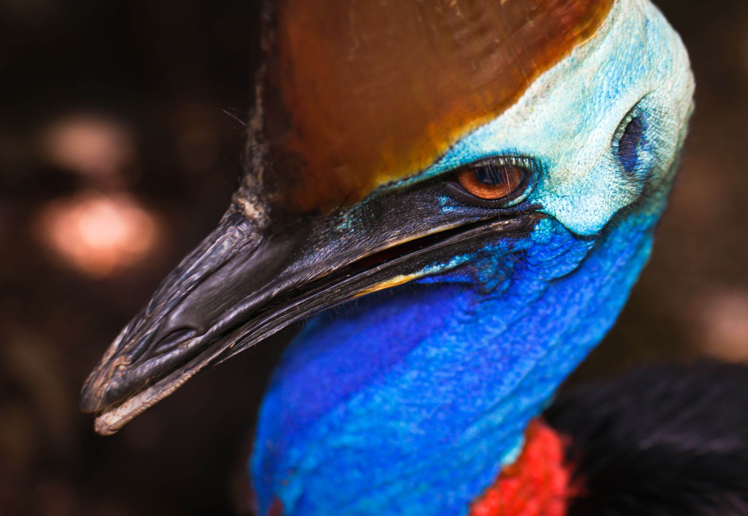 cassowary-face-australia