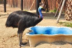 cassowary-bird-pool-australia