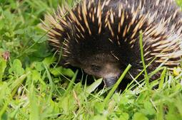 echidna-in-grass-australia