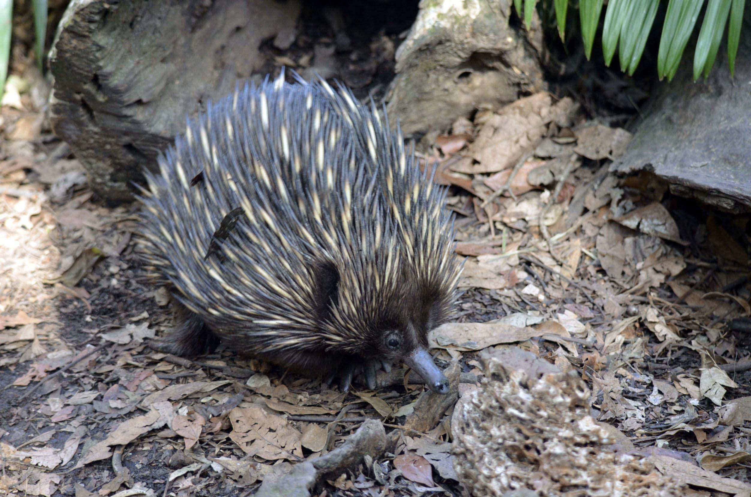 echidna-walking-on-bark-australia
