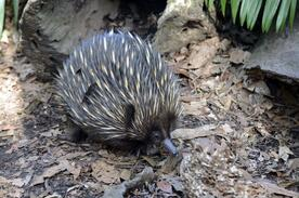 echidna-walking-on-bark-australia