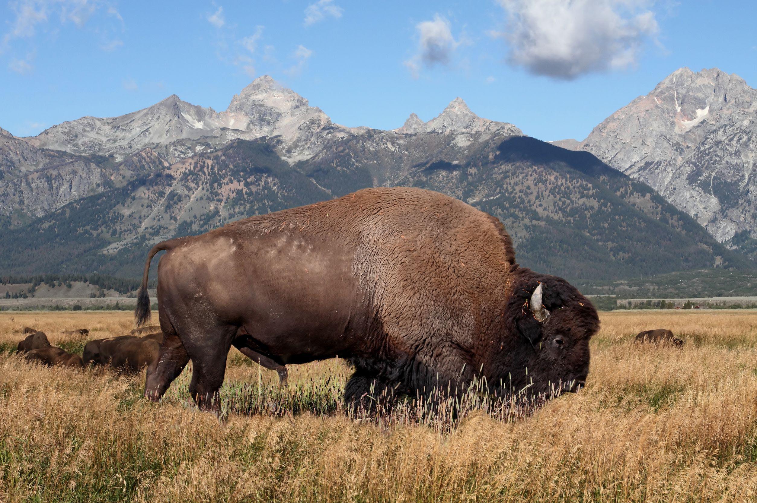 plains-buffalo-alaksa-usa
