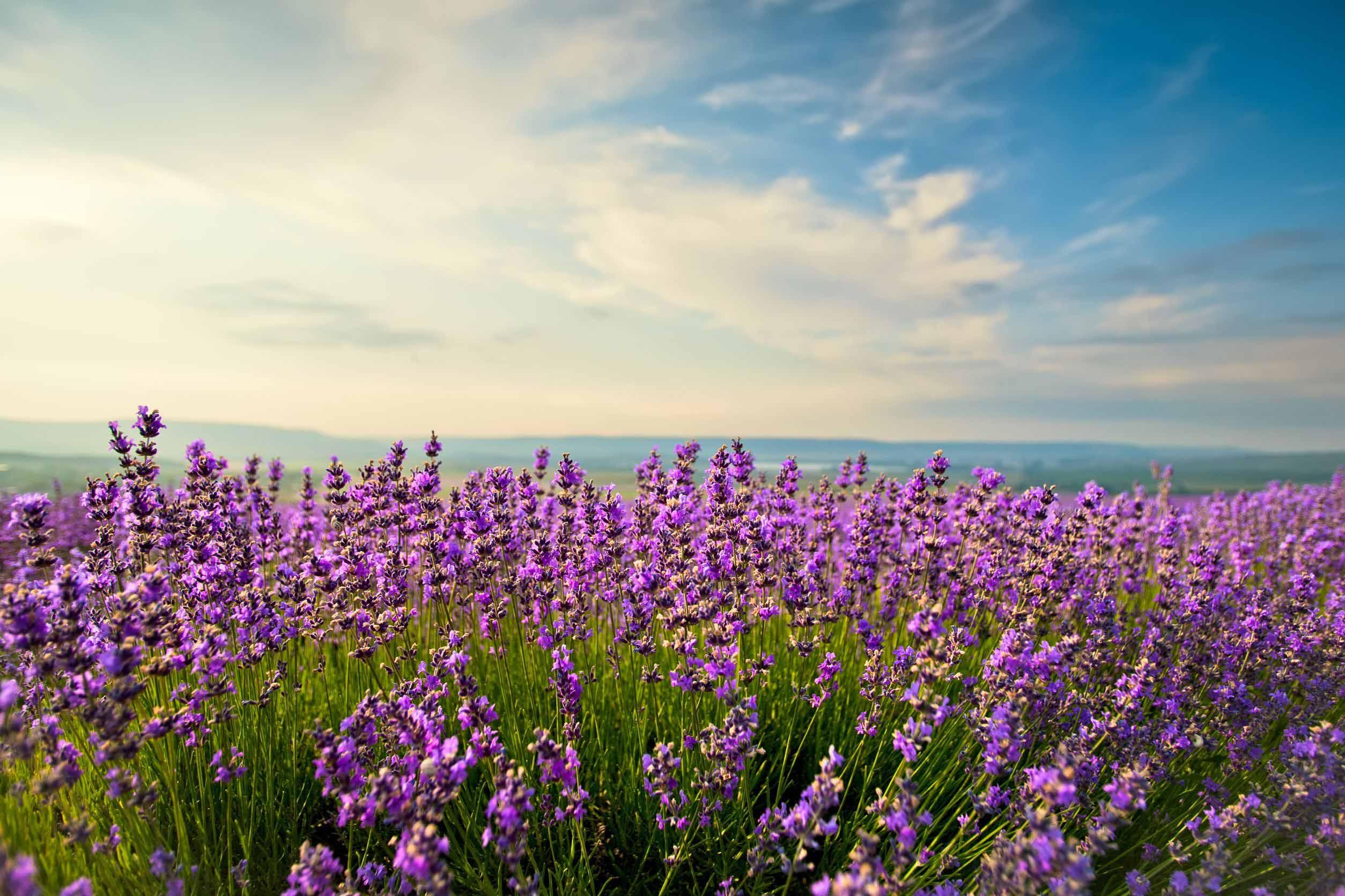 lavender-field-new-york