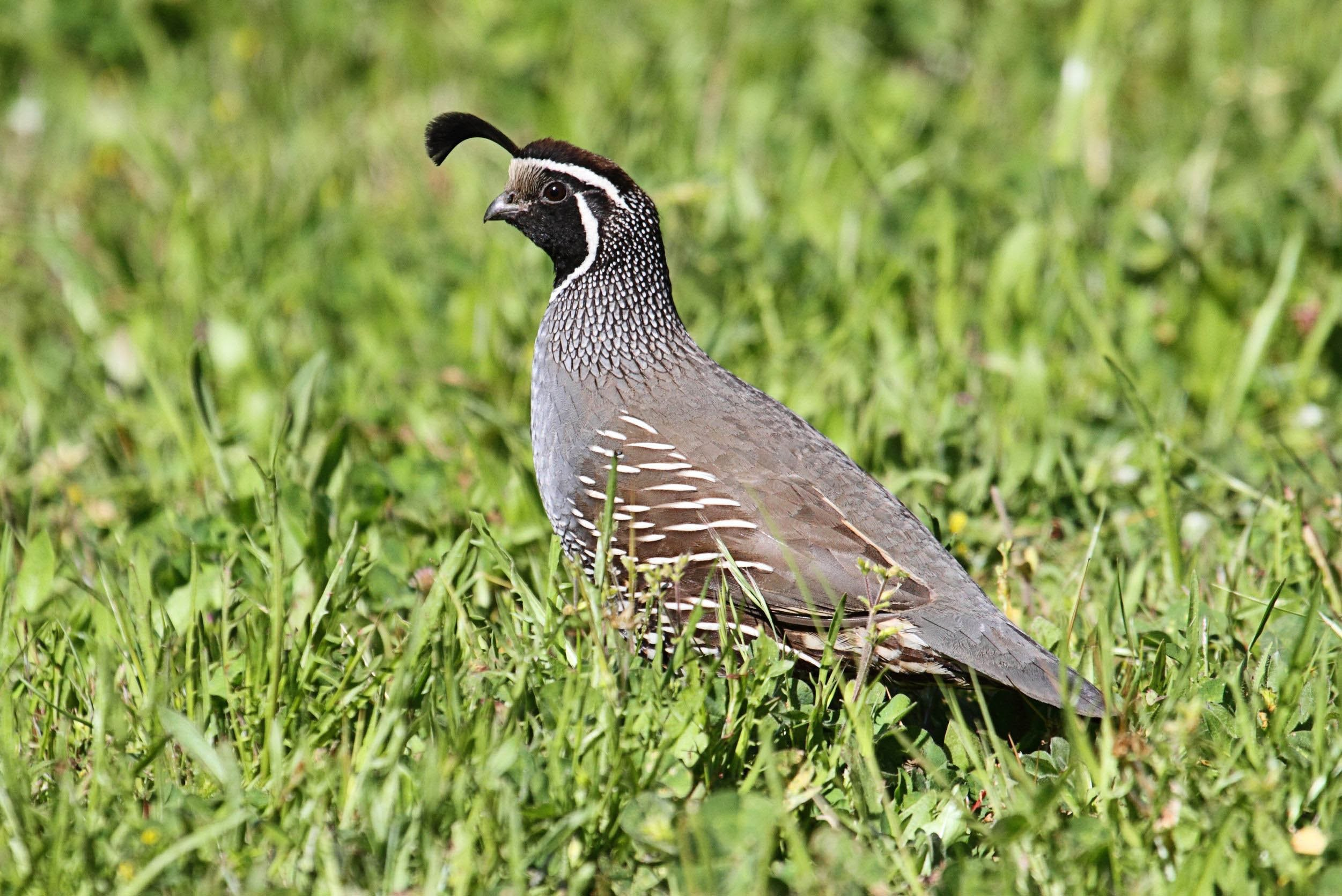 quail-in-grass-united-states