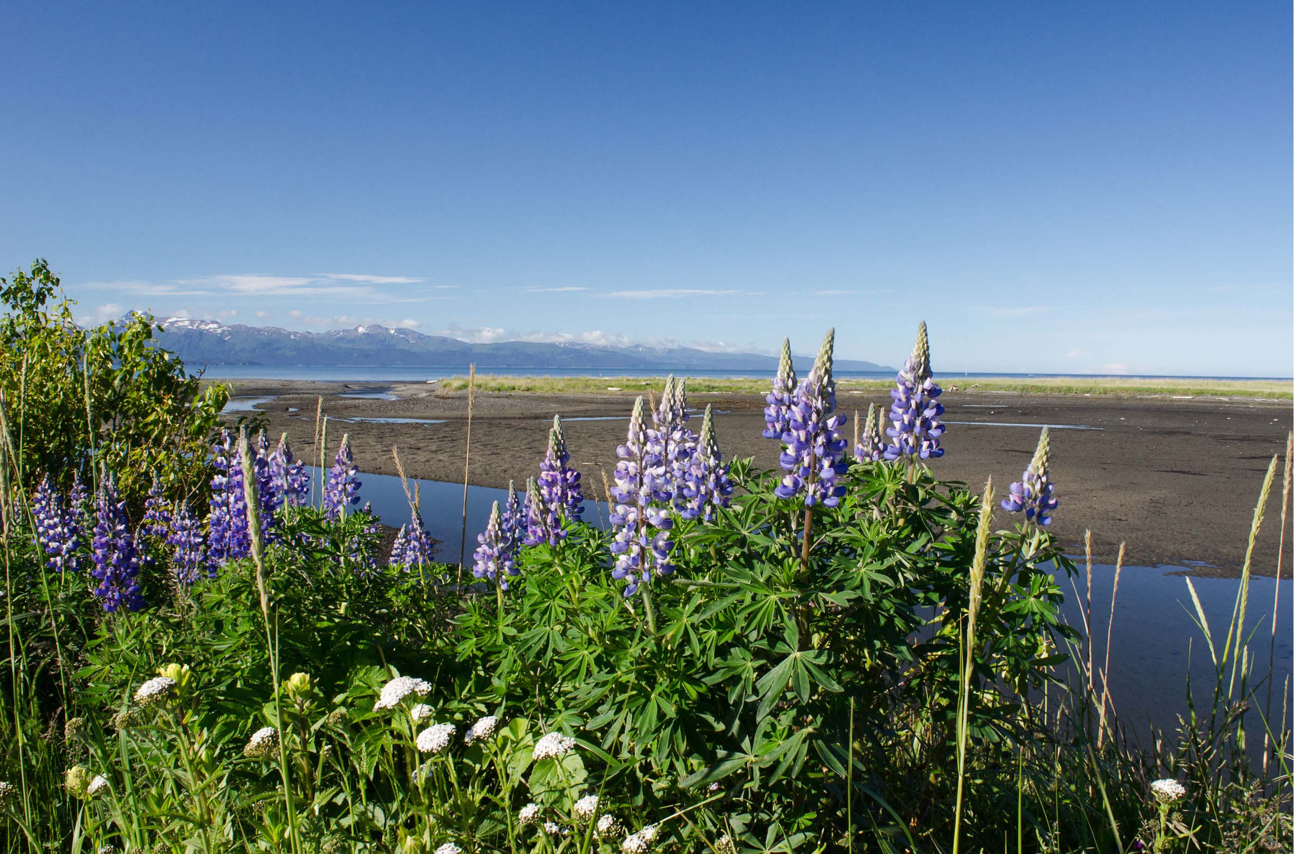 purple-flowers-lake-alaksa-usa