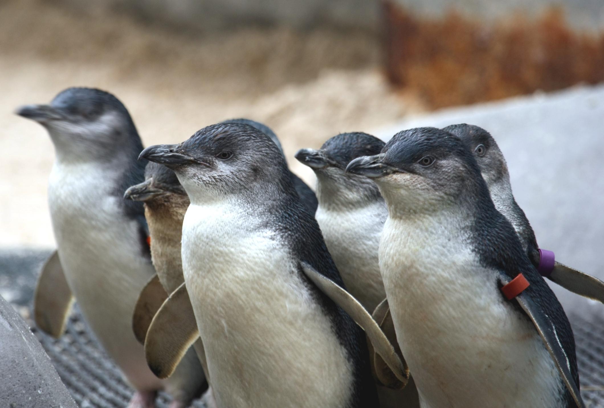 fat-blue-penguins-new-zealand