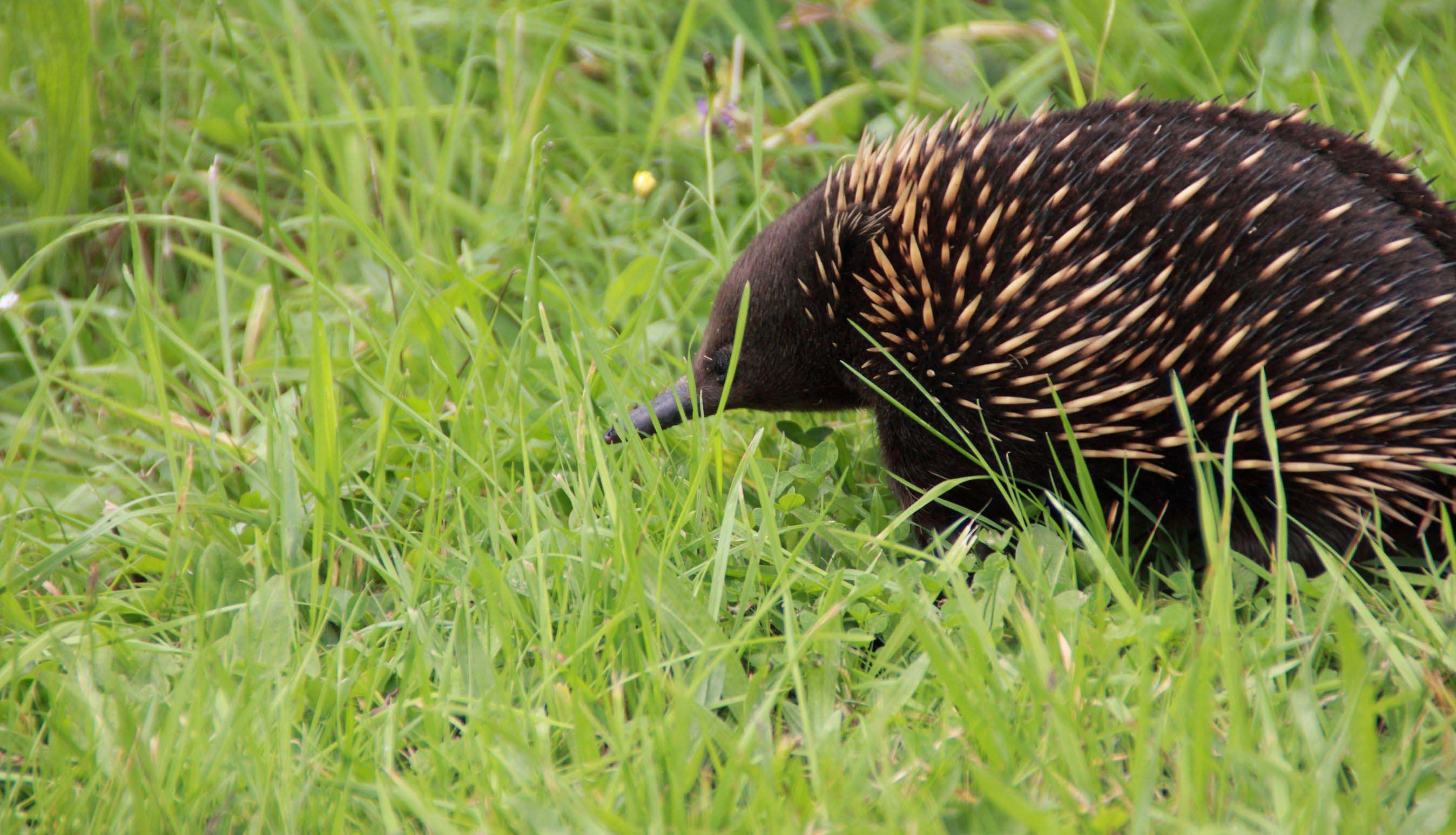 echidna-walking-in-grass-australia