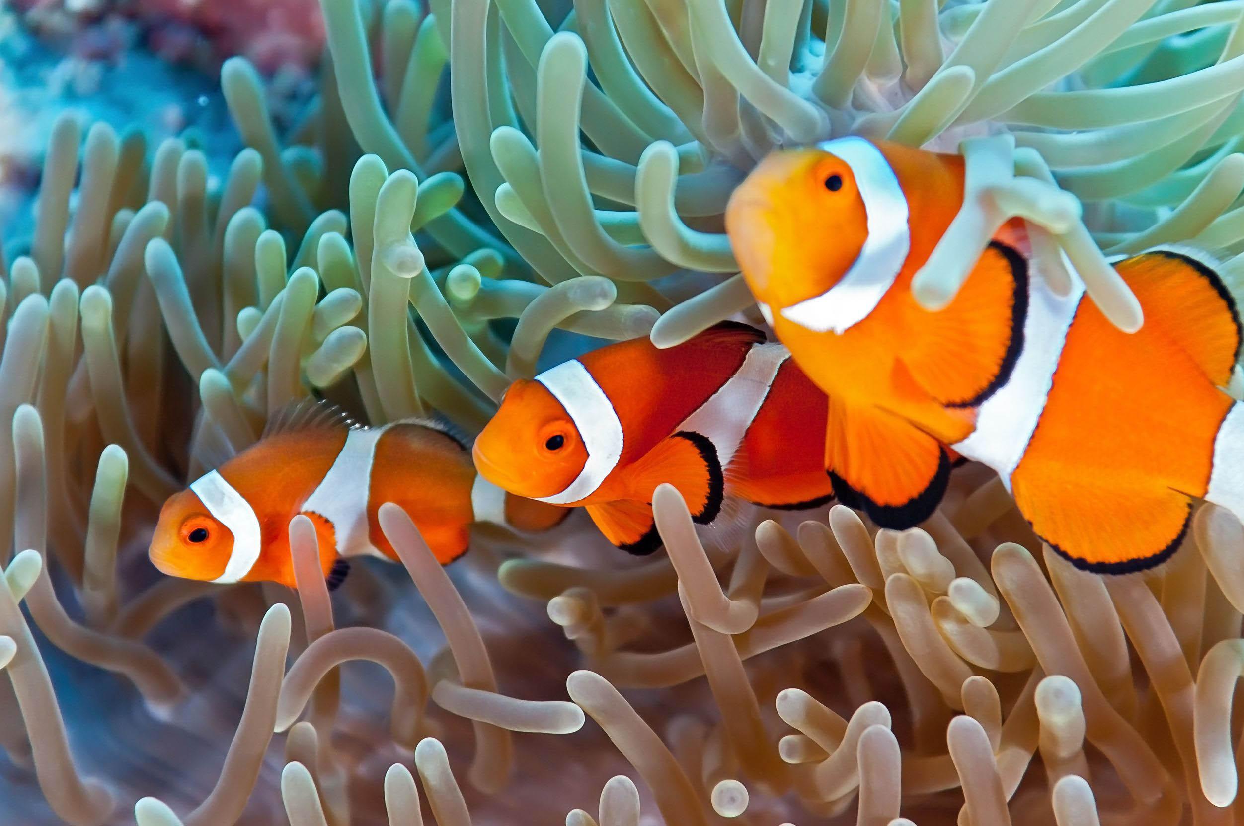 clownfish 123rf