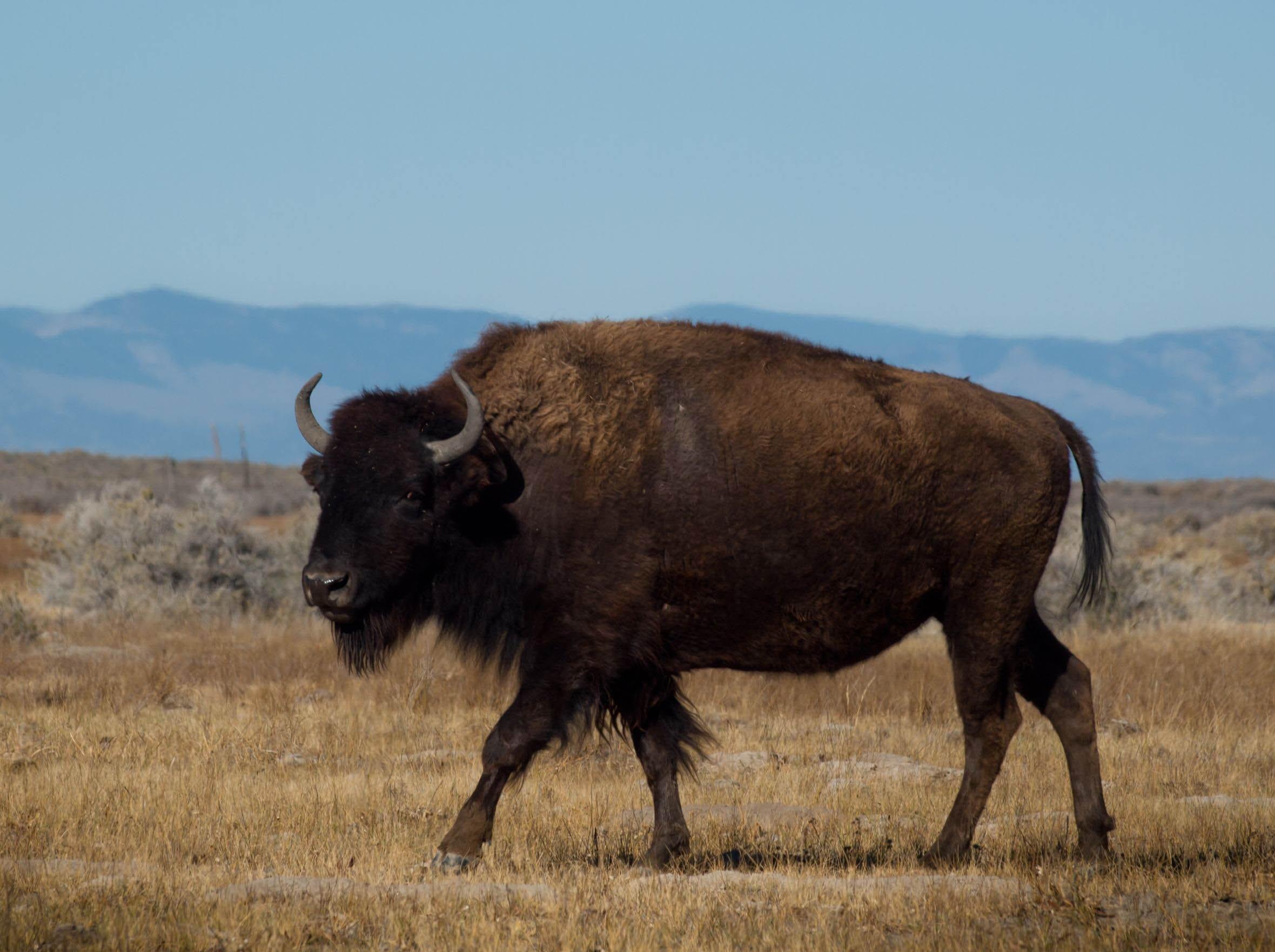 bison-plains-america