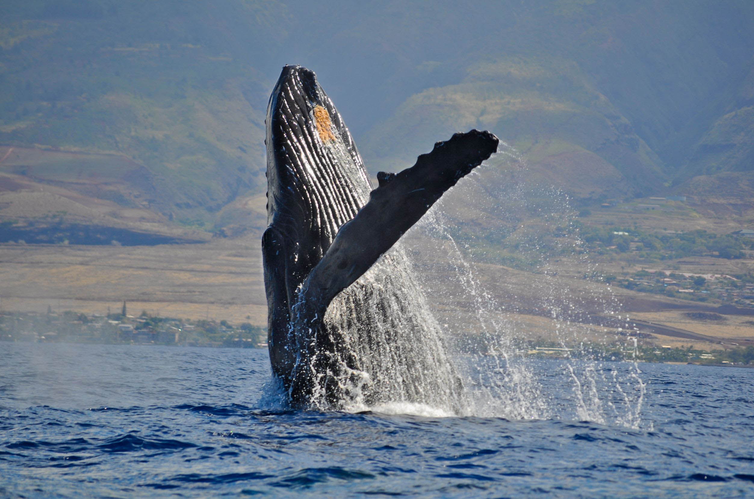 whale-jumping-united-states