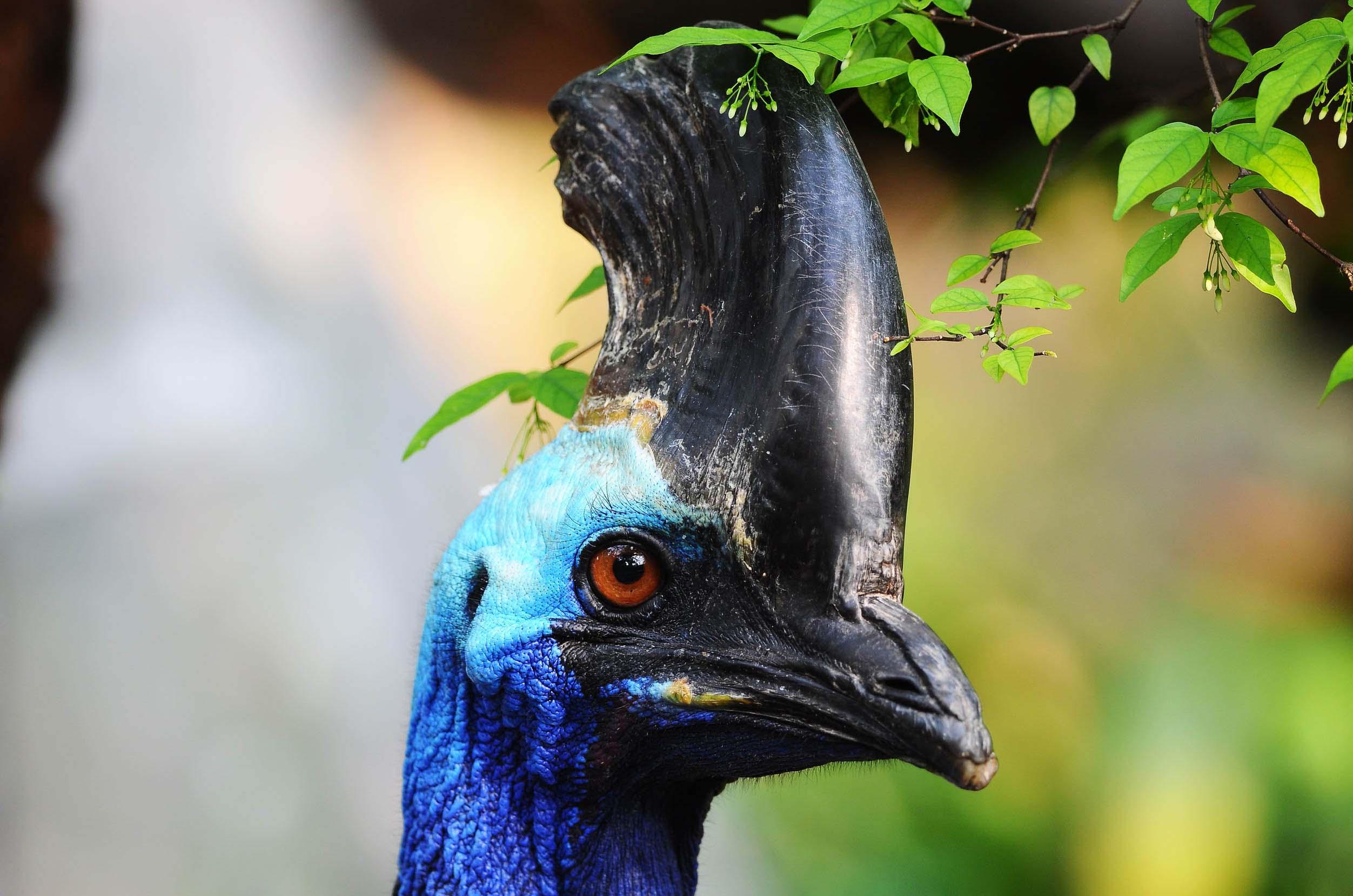 cassowary-head-closeup-australia