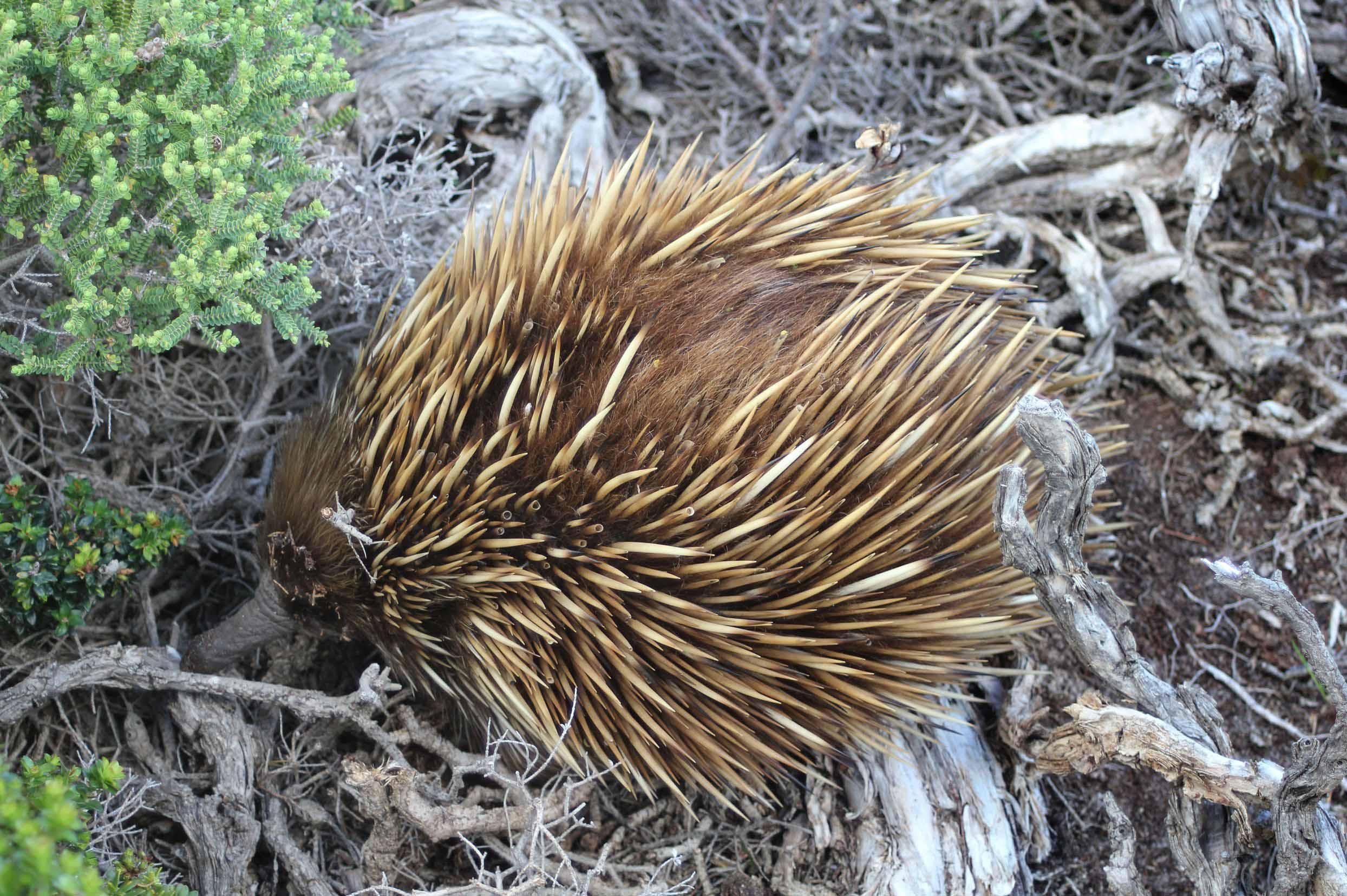 echidna-burrowing-australia