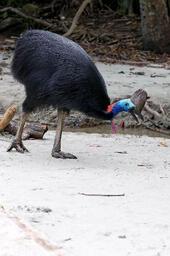 cassowary-bird-walking-australia