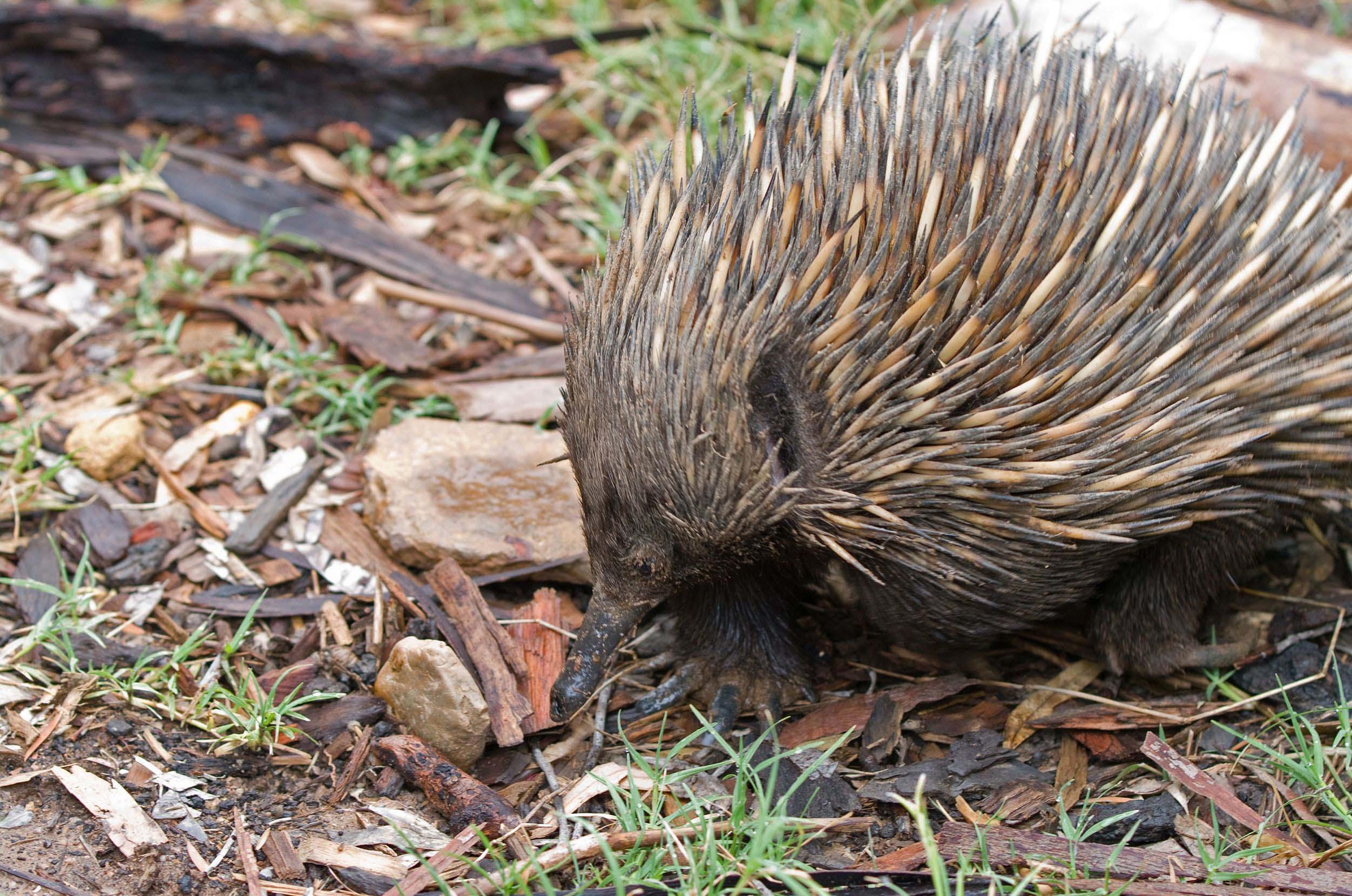 echidna-on-ground-australia