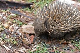 echidna-on-ground-australia