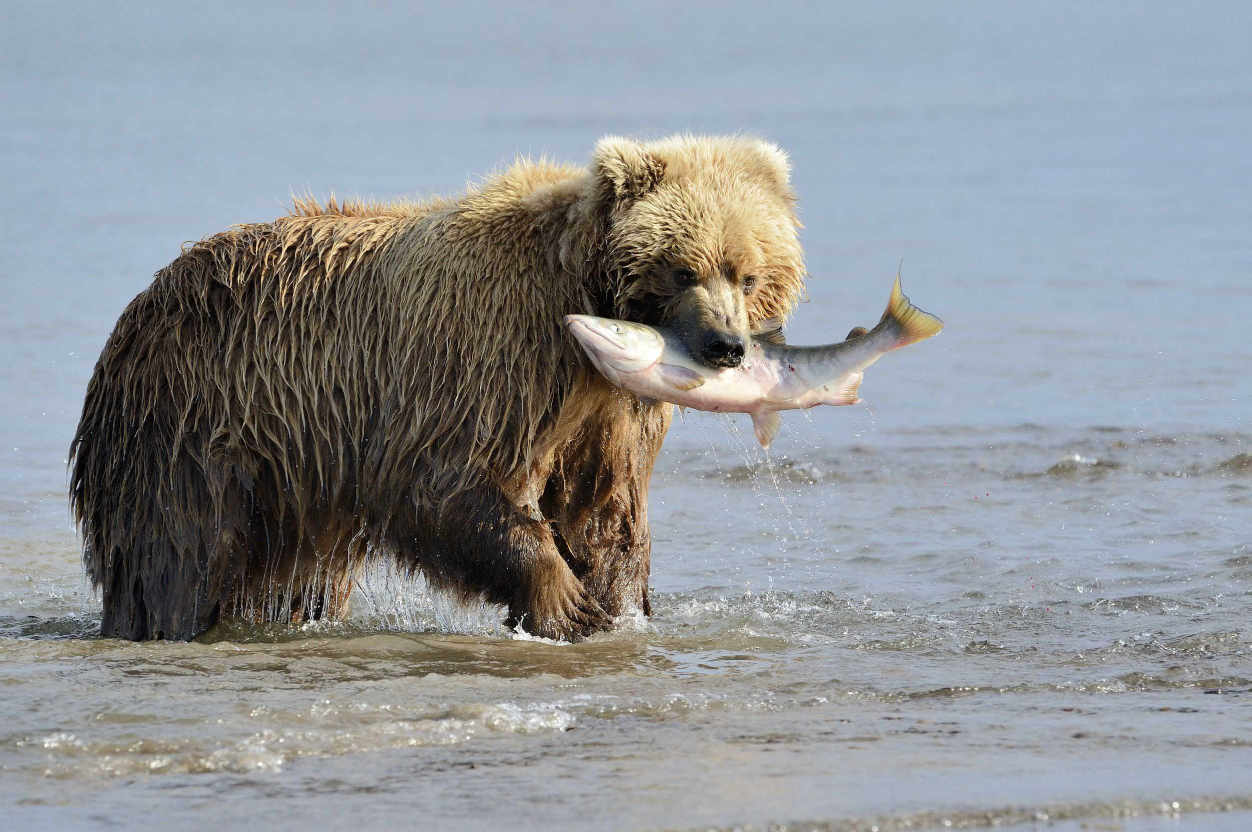 bear-with-fish-alaska-usa