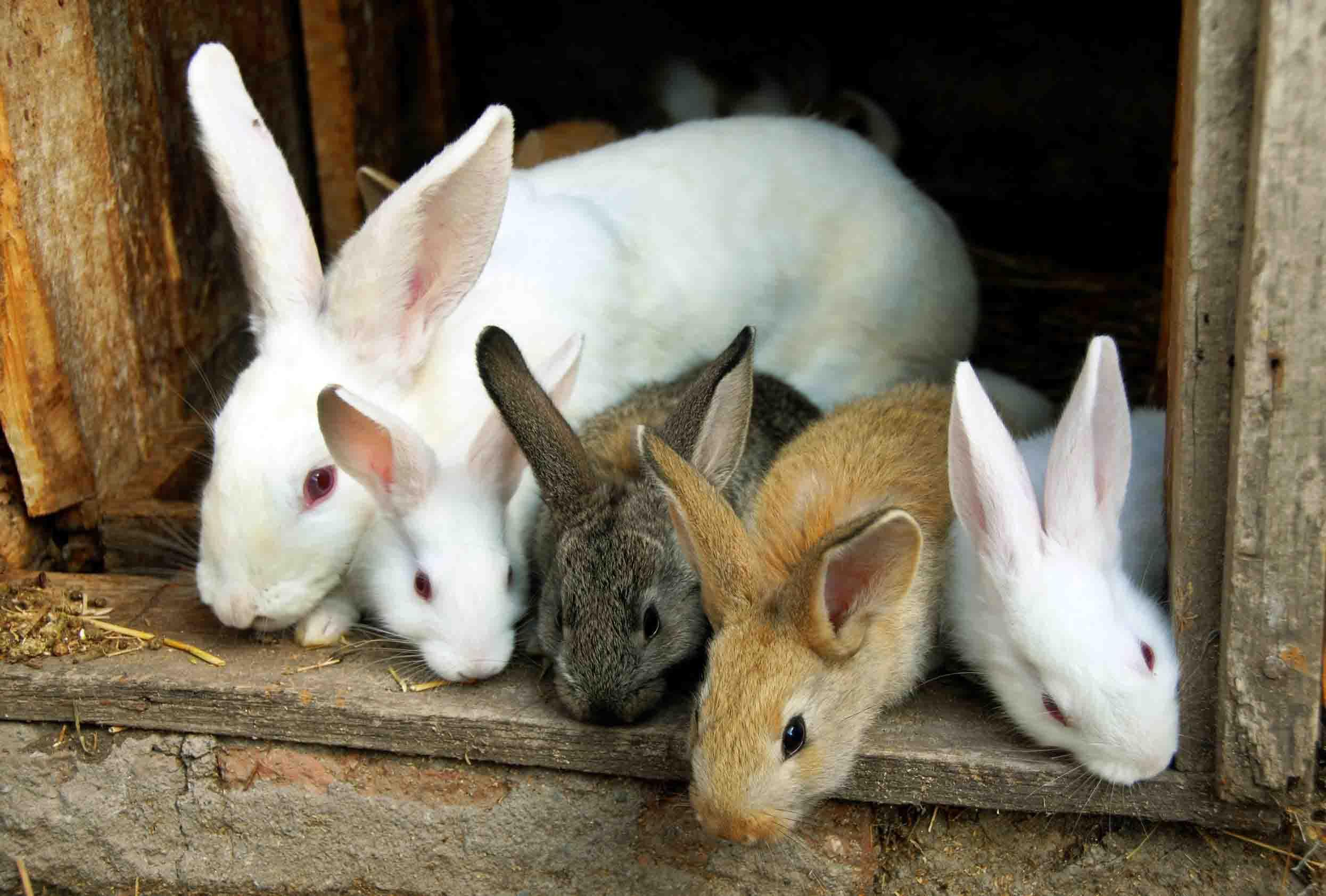 rabbits-sydney-australia
