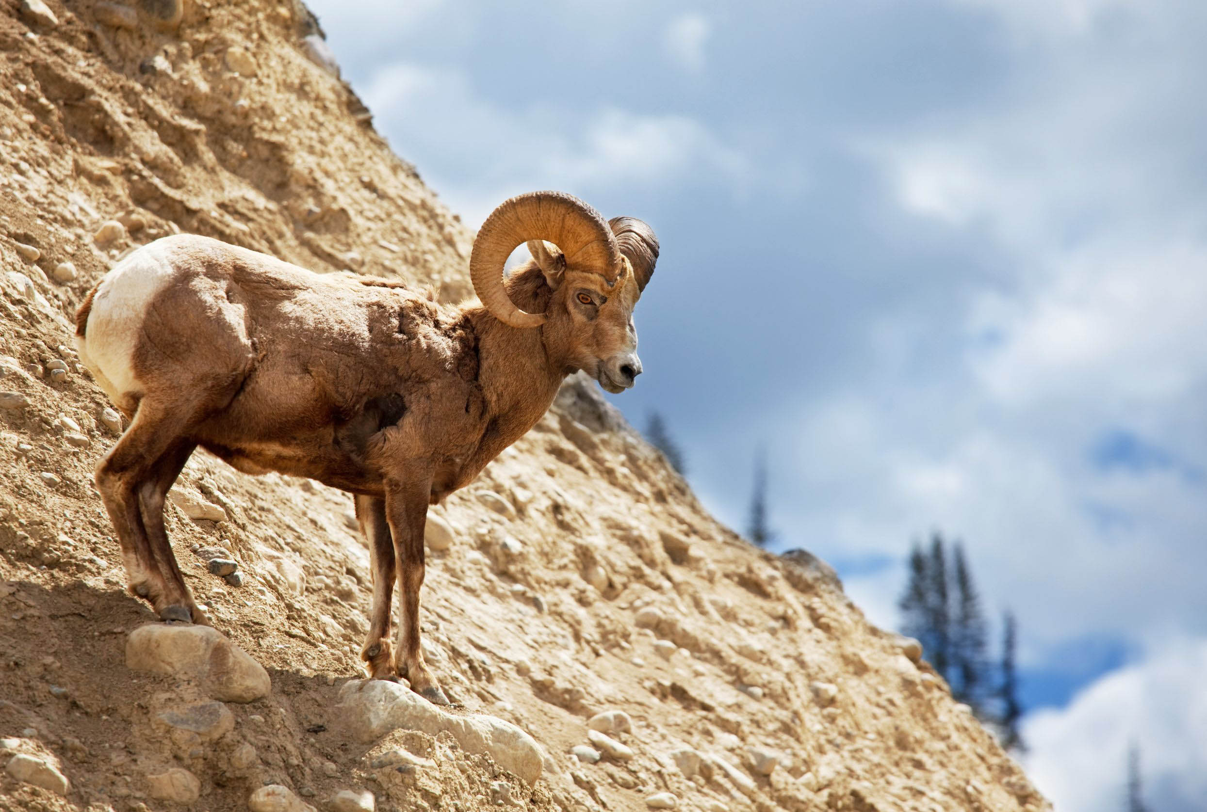 big-horned-sheep-cliff-united-states