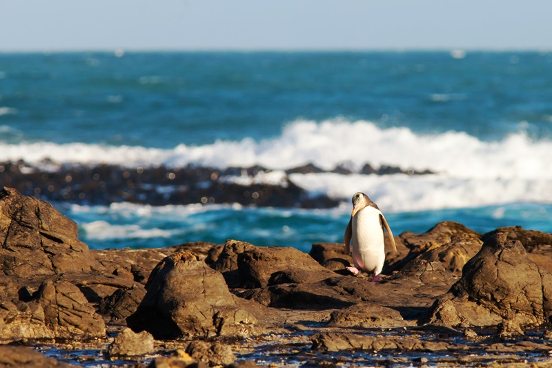 yellow-eyed-penguin-in-new-zealand