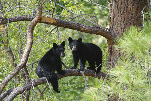 Black Bears in Great Smoky Mountain National Park